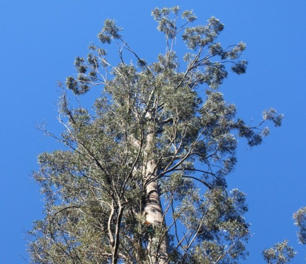 Climb into the sky - click to read - Climbing The World's Tallest Flowering Tree