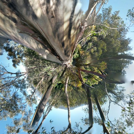 ClimbingTheTallestFloweringTree_byYD BarNess_TasmanianGeographic___Photosphere_C Mid Crown_Planet