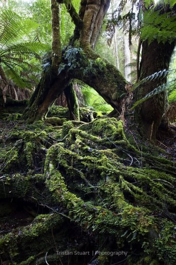 Tangled Roots in Upper Florentine Forest - by Tristan Stuart