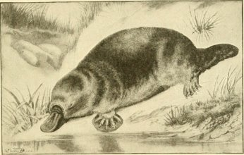 Mapping the Platypus Century - The Platypus -  from The American natural history - a foundation of useful knowledge of the higher animals of North America - 1914