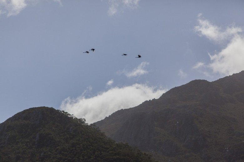 Flying Into The South Coast Track - Black swans - by Geraldina Dijkstra