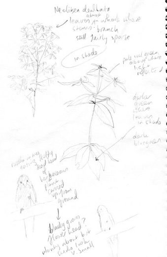 Notes for flooded gum portrait -Neolitsea dealbata and a rosella - by Paula Peeters