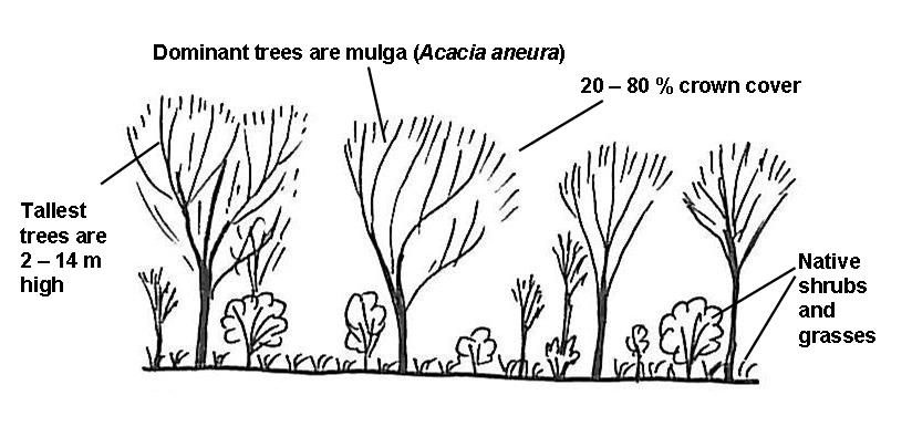 Simple profile diagram of mature mulga (Acacia aneura) open-forest or woodland - by Paula Peeters