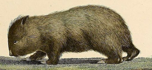 King_Island_Wombats_ 1807_Charles-Alexandre Lesueur copy