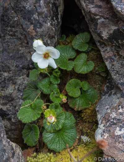 Geum talbotianum clinging to some crevice in the rock around 1100m altitude- by Dan Broun
