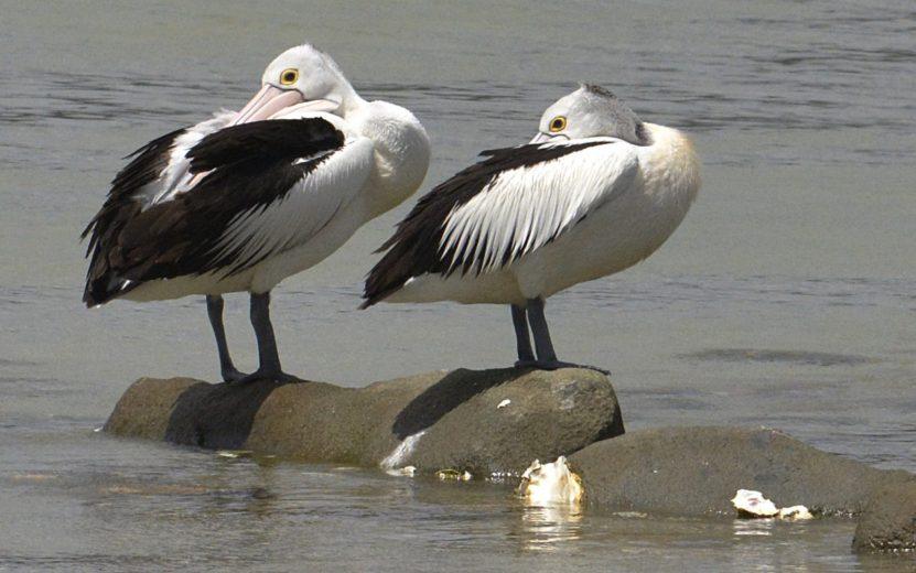 Australian Pelican - courtesy Eric Woehlor - 6_2400px