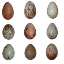 Australian magpie eggs- via Kiara LHerpiniere