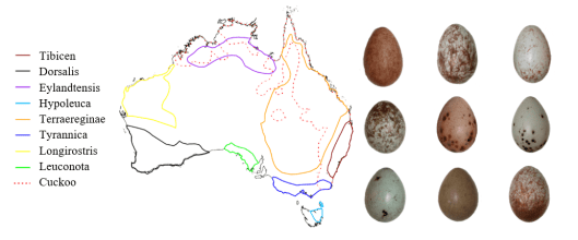 Map from Magpie paper. Distribution of the Magpie subspecies, the cuckoo and an example of the variation within the mapie eggs- via Kiara LHerpiniere