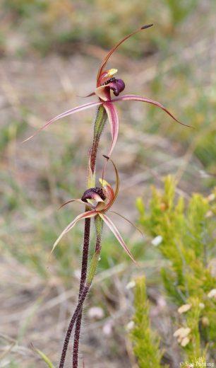 Caladenia clavigera - South Arm