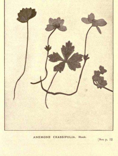 Illustrations from Rodway -Some Wildflowers of Tasmania - by Olive Barnard 42.56