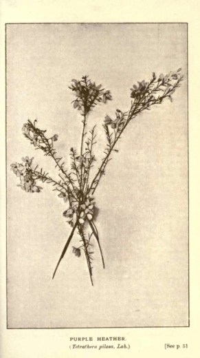 Illustrations from Rodway -Some Wildflowers of Tasmania - by Olive Barnard 44.38
