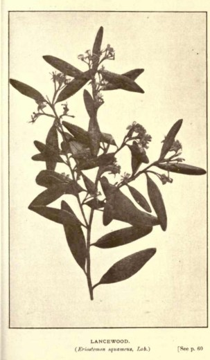 Illustrations from Rodway -Some Wildflowers of Tasmania - by Olive Barnard 44.44