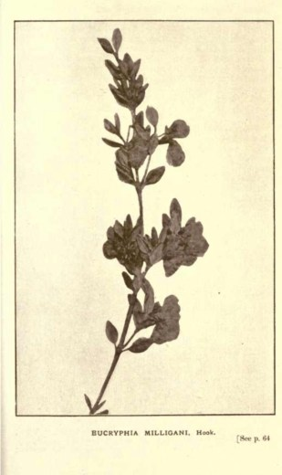 Illustrations from Rodway -Some Wildflowers of Tasmania - by Olive Barnard 44.59