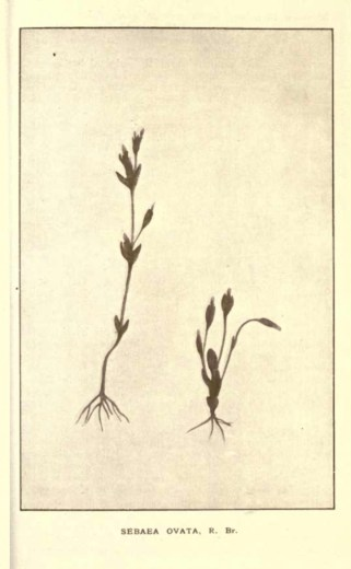 Illustrations from Rodway -Some Wildflowers of Tasmania - by Olive Barnard 45.10
