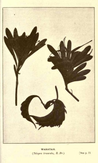 Illustrations from Rodway -Some Wildflowers of Tasmania - by Olive Barnard 45.19