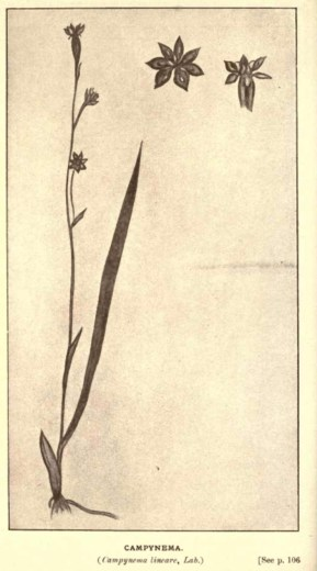 Illustrations from Rodway -Some Wildflowers of Tasmania - by Olive Barnard 46.17