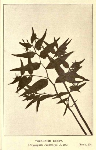 Illustrations from Rodway -Some Wildflowers of Tasmania - by Olive Barnard 46.25
