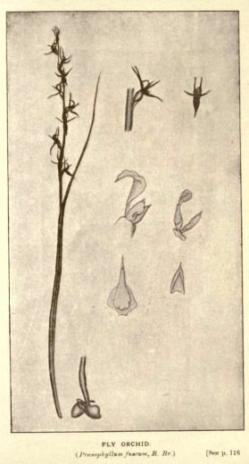 Illustrations from Rodway -Some Wildflowers of Tasmania - by Olive Barnard 47.09