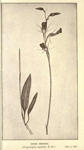 Illustrations from Rodway -Some Wildflowers of Tasmania - by Olive Barnard 47.17