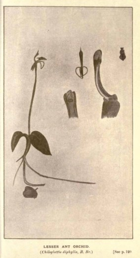 Illustrations from Rodway -Some Wildflowers of Tasmania - by Olive Barnard 47.21