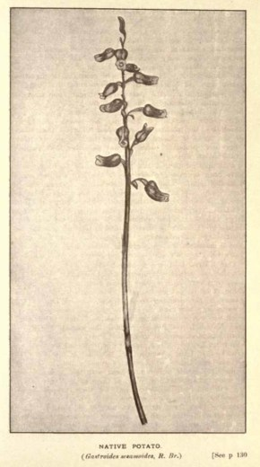 Illustrations from Rodway -Some Wildflowers of Tasmania - by Olive Barnard 47.40