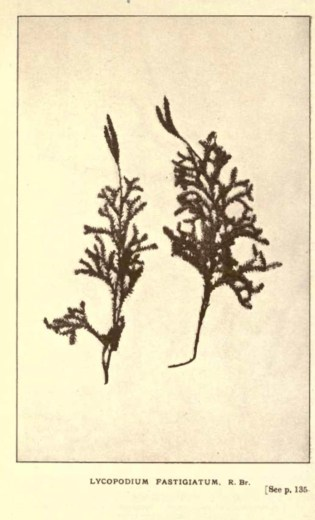 Illustrations from Rodway -Some Wildflowers of Tasmania - by Olive Barnard 47.57