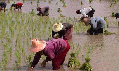 rice farmers Thailand