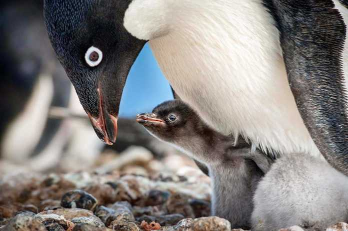 penguins feeding