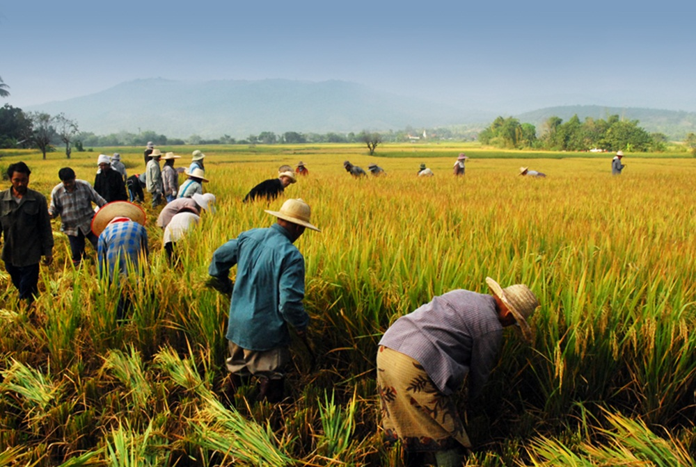Thailand paddy fields, culture du riz