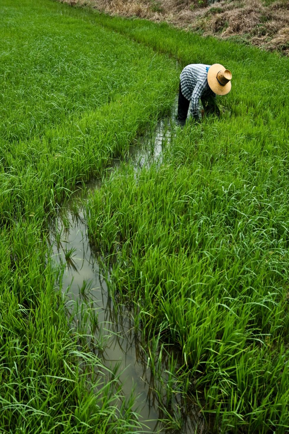 Plantation de riz à suphanburi thailande