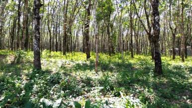 Plantation d'hévéas à Koh Kood