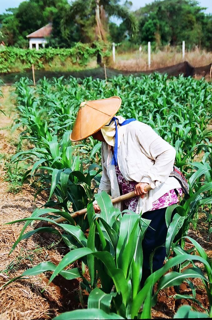 Culture du maïs à Pai