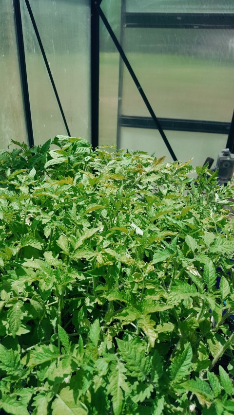 Lush green tomato plants in the greenhouse. You Should Grow .com