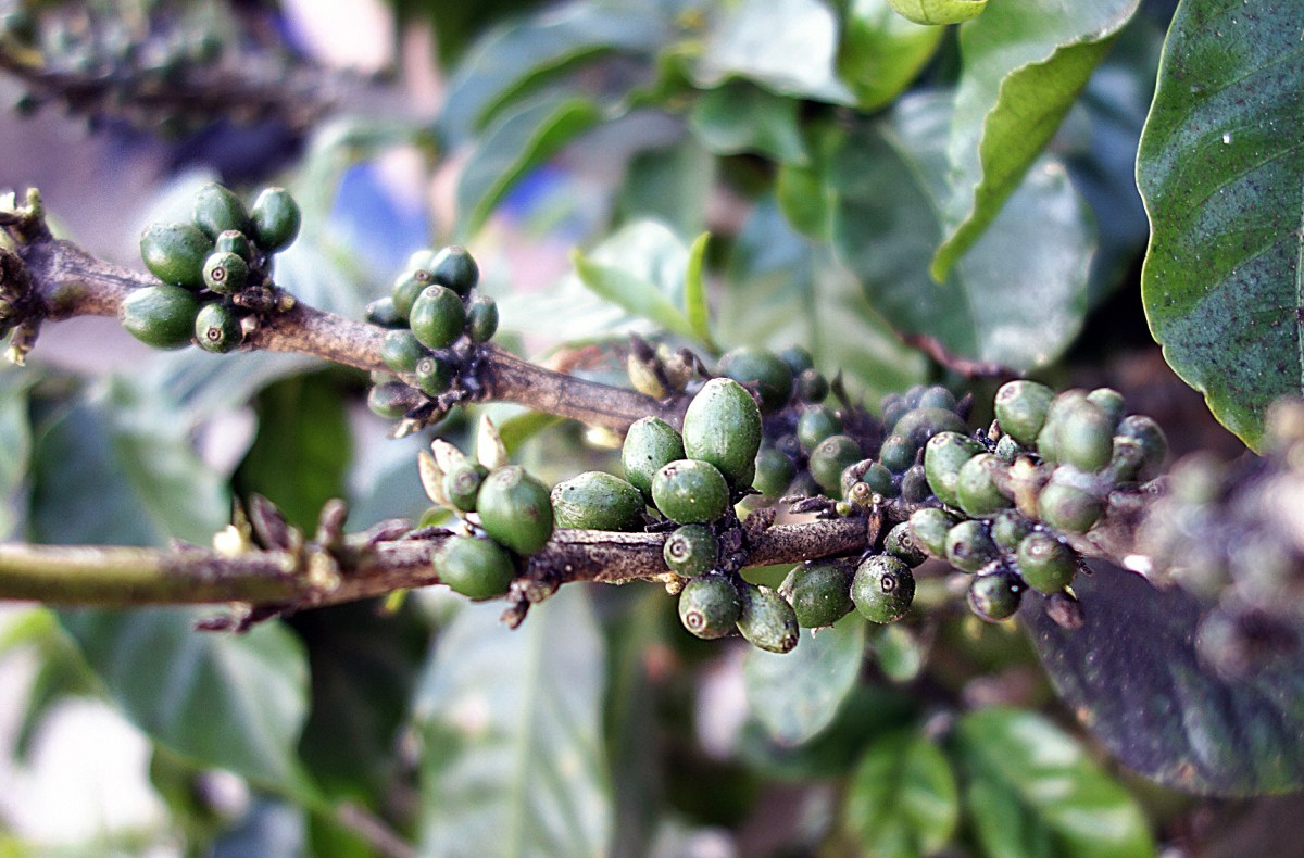 coffee beans before they are ripe for harvest