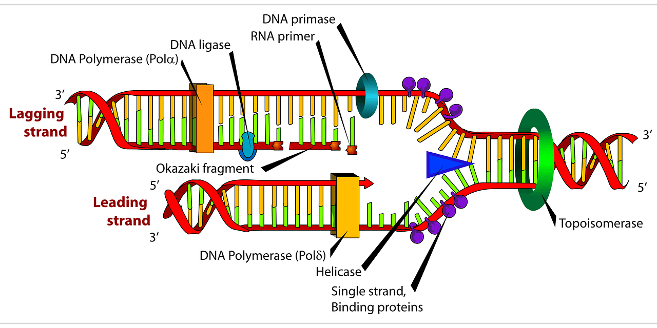 hight resolution of diagram dna biology free picture