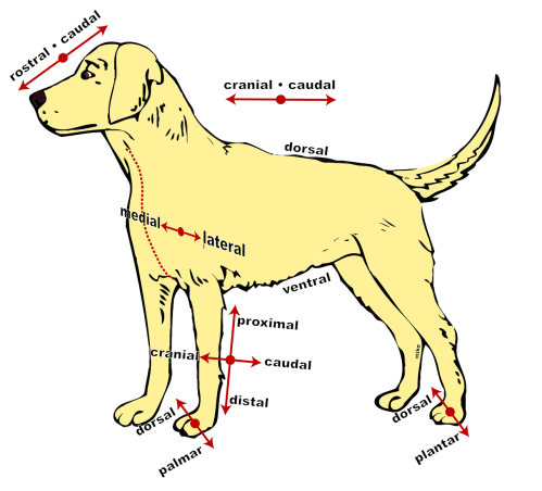 small resolution of dog anatomical diagram free picture