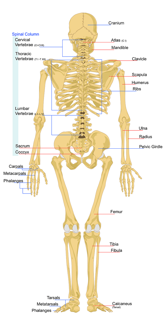 hight resolution of skeleton human anatomy free picture