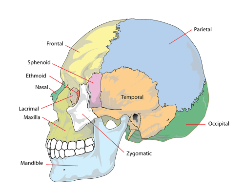small resolution of skull human head free picture
