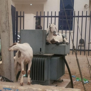 Goats Chilling On Top Of Transformer