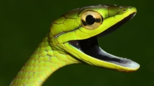 COVID-19: Snake Venom May Become Tool In Fight Against Coronavirus
