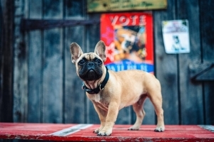 French bulldog elected as mayor of Kentucky town