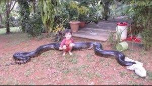Download Video: Giant Anaconda Captured After Eating Dog