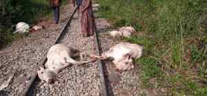 Train Derails, Kills 47 Cows In Osun (Graphic Photos)