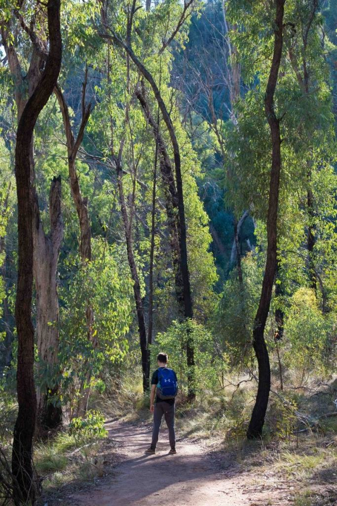 Trekking the Warrumbungles // Macha Tor and Grand High Tops (NSW), Harry Candlin, woods, trees, hiker, track, spindly, green