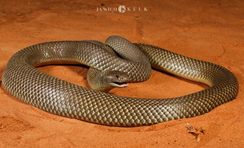 Windorah Jannico Kelk desert sand dunes queensland qld reptile snake King Brown