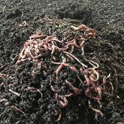 Worms 1,000 (1 Pound) Red Wiggler