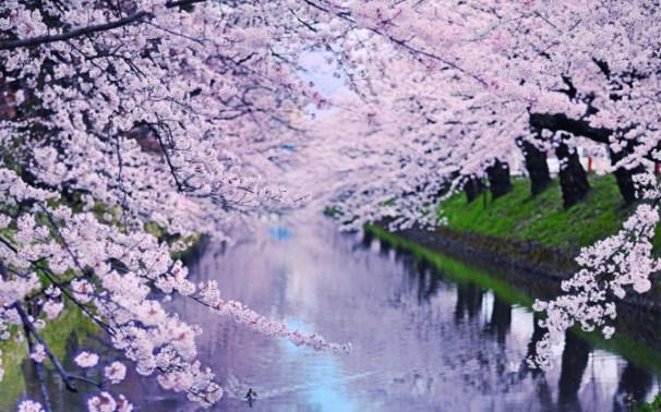 get cherry blossoms microsoft