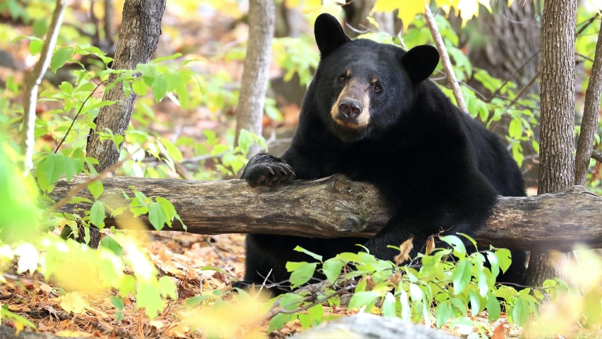 get bear landscapes microsoft