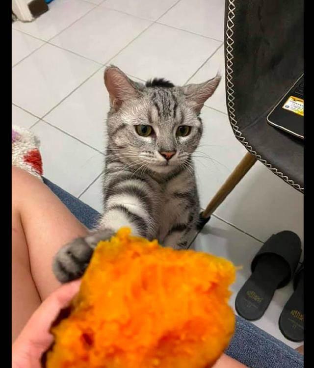 主人在吃紅薯。貓咪也要湊過來搶:吃的什麼。讓我看看嘛
