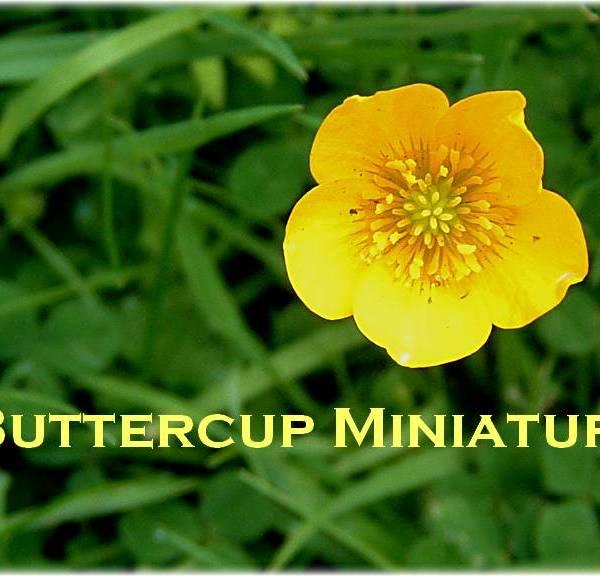 Buttercup Miniatures banner